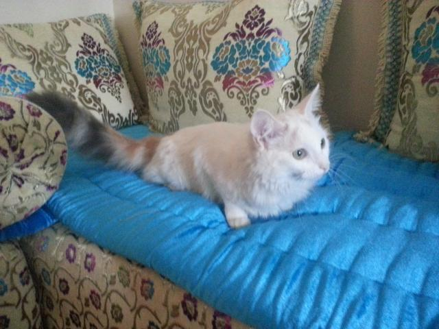 Chatte turquoise Angora