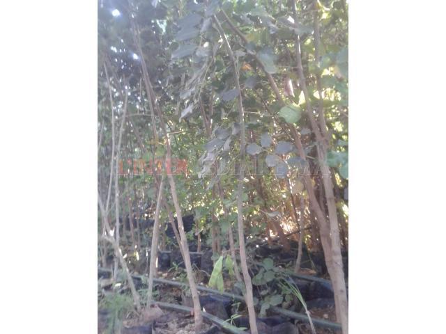arbres caroubiers fruitiers