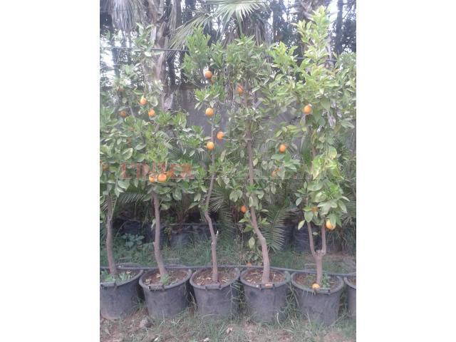 oranger fruitiers(photo reelle)