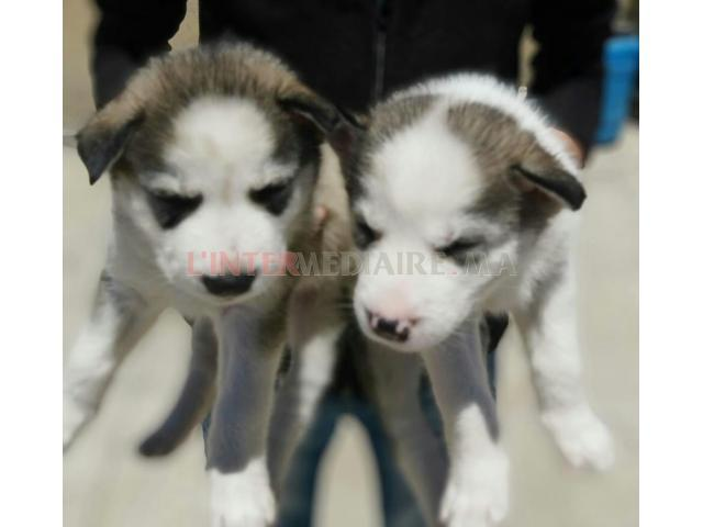 Chiots husky siberien