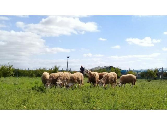 mouton ferme bio 2020/1441 أضحية عيد أضح