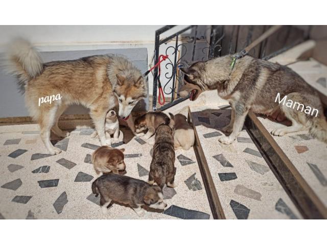 Husky Sibérien Pure Race + Accessoires